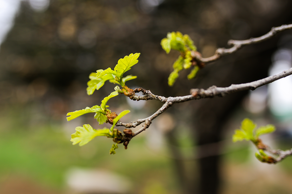 მუხა - Quercus