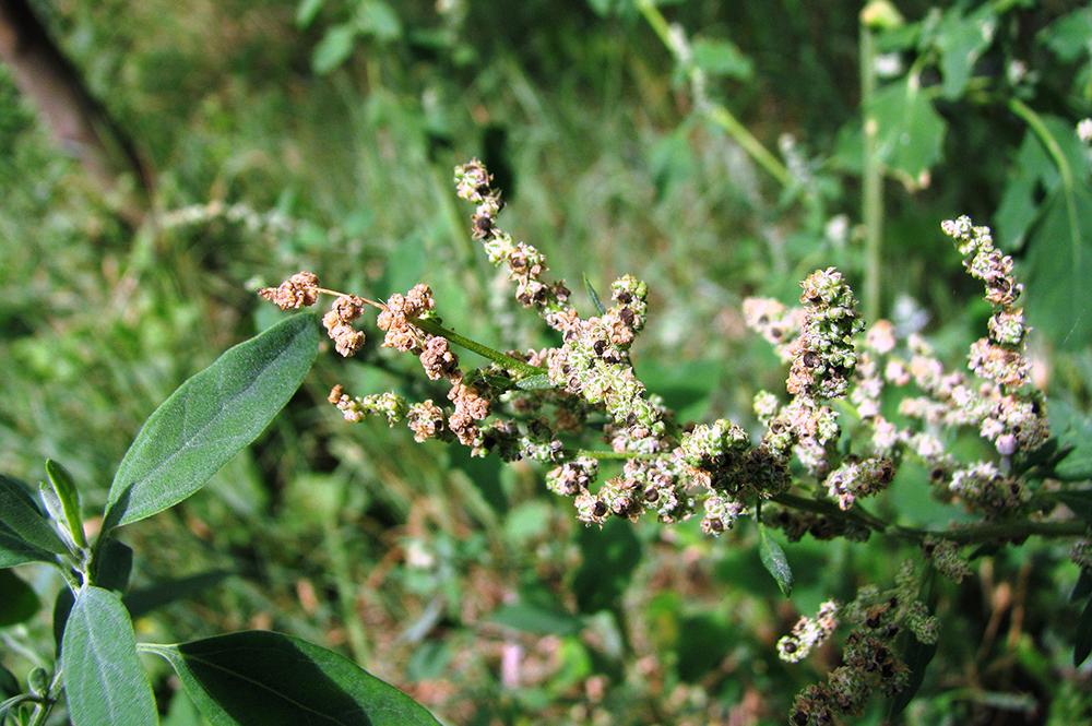 ნაცარქათამა - Amaranthaceae