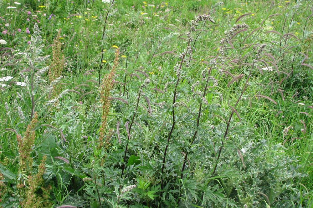 ავშანი - Artemisia