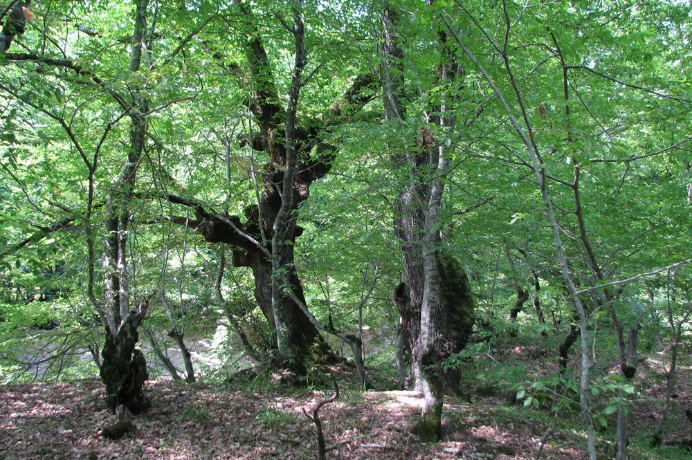 რცხილა - Carpinus