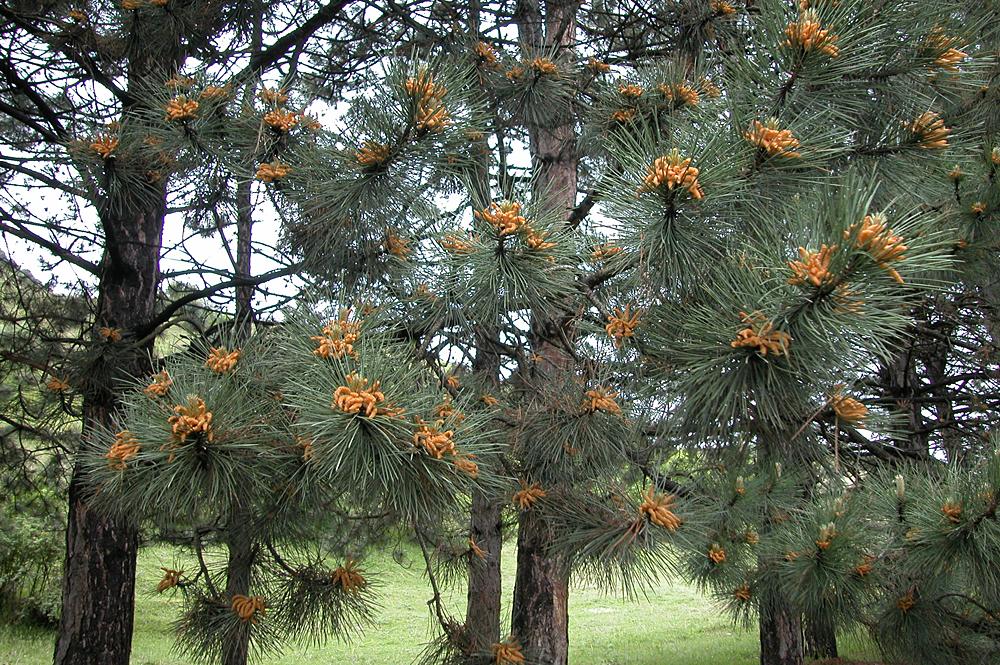 ფიჭვი - Pinus